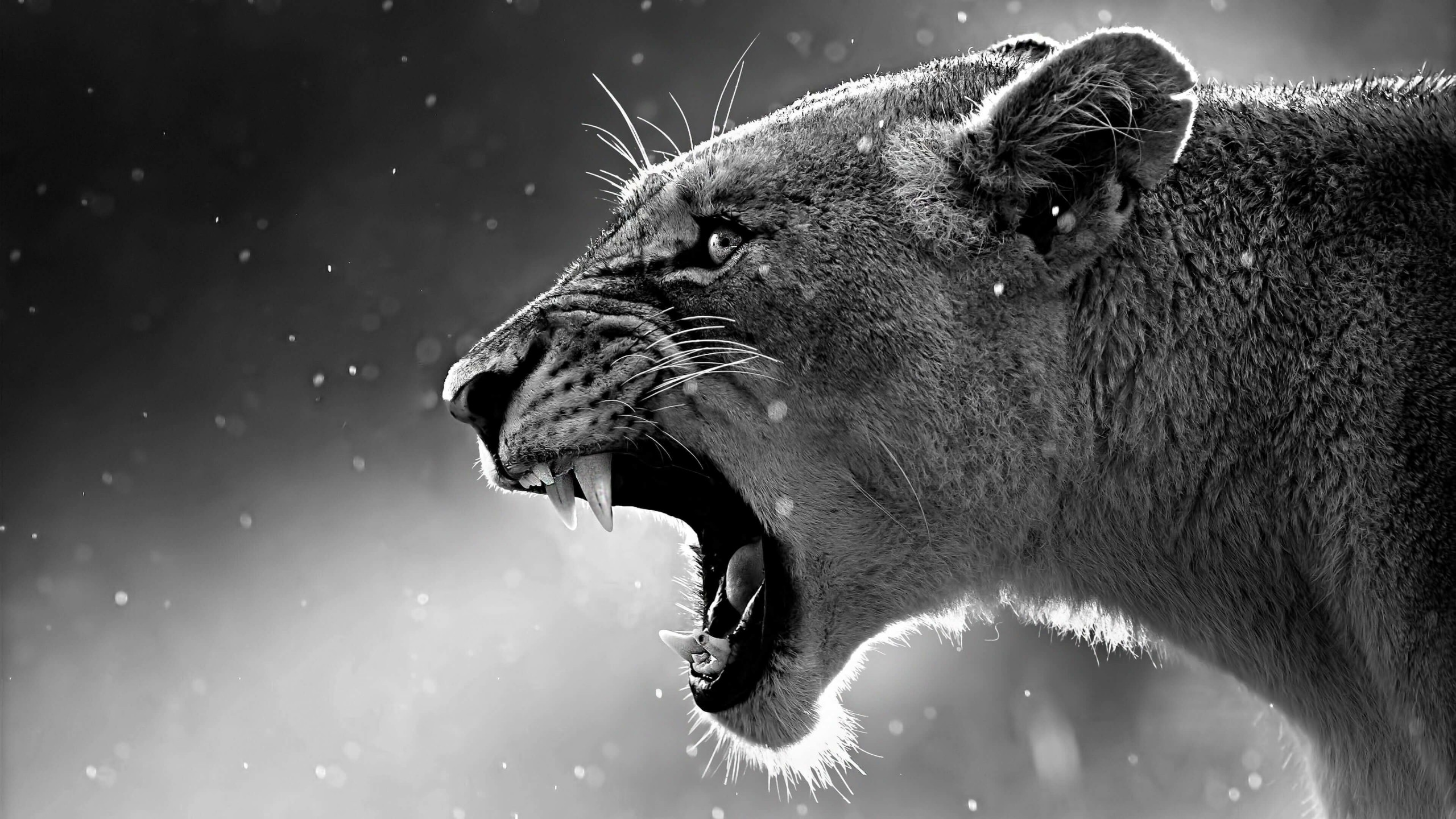 Lioness in Black & White Wallpaper for Desktop 2560x1440