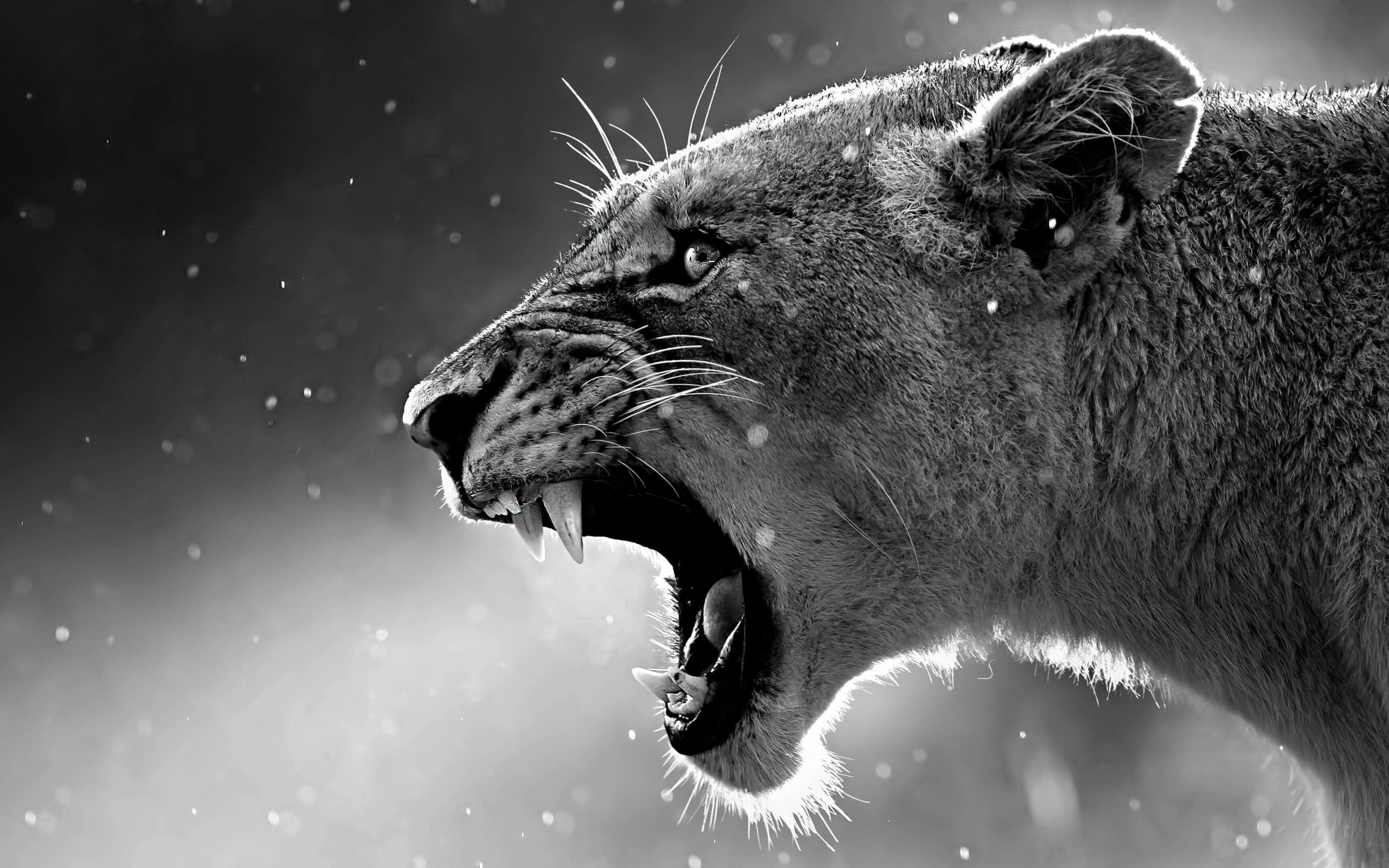 Lioness in Black & White Wallpaper for Desktop 2880x1800