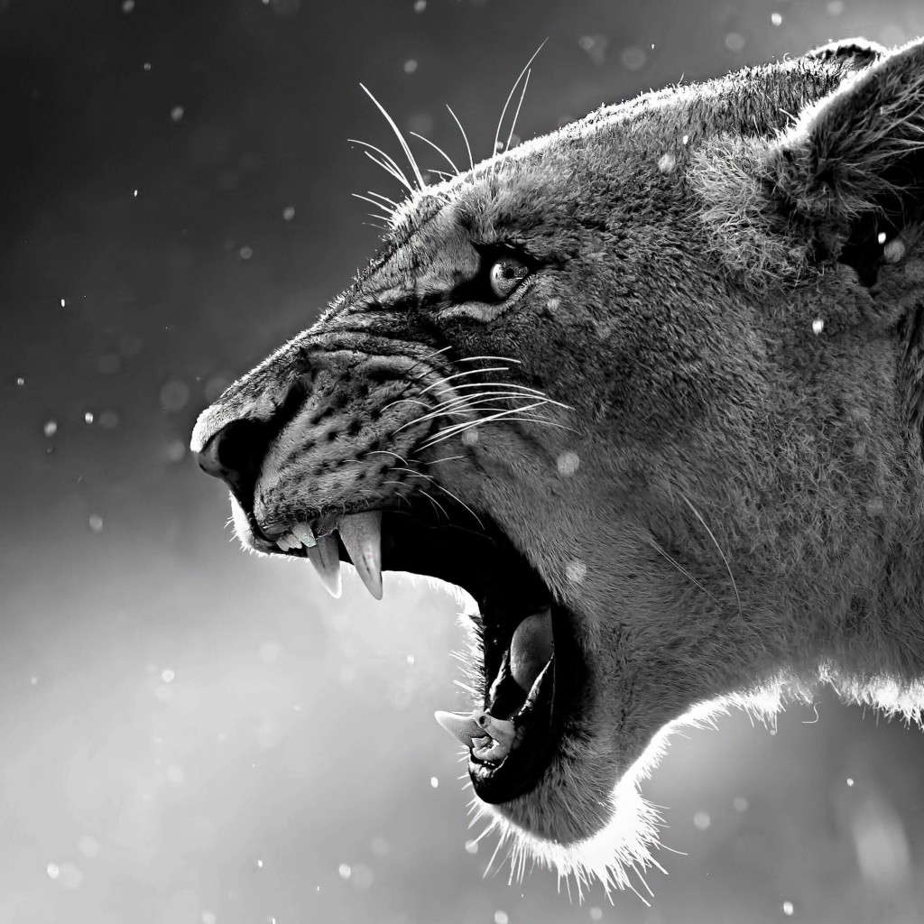 Lioness in Black & White Wallpaper for Apple iPad