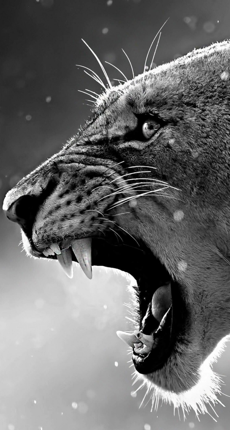 Lioness in Black & White Wallpaper for Apple iPhone 5 / 5s