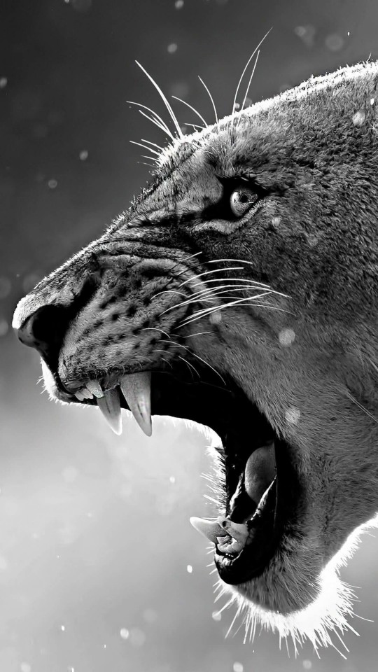 Lioness in Black & White Wallpaper for Motorola Moto E