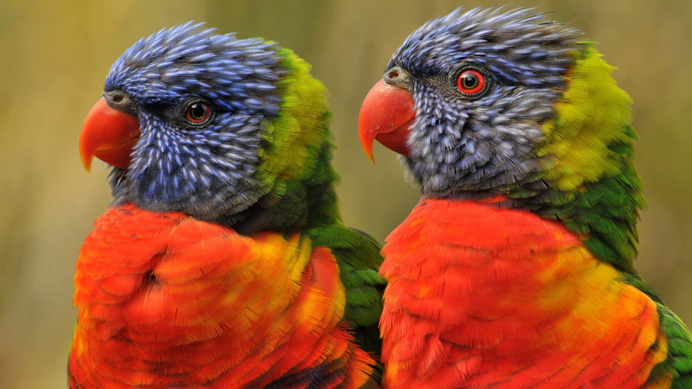 Lovebirds Wallpaper for Desktop 1366x768