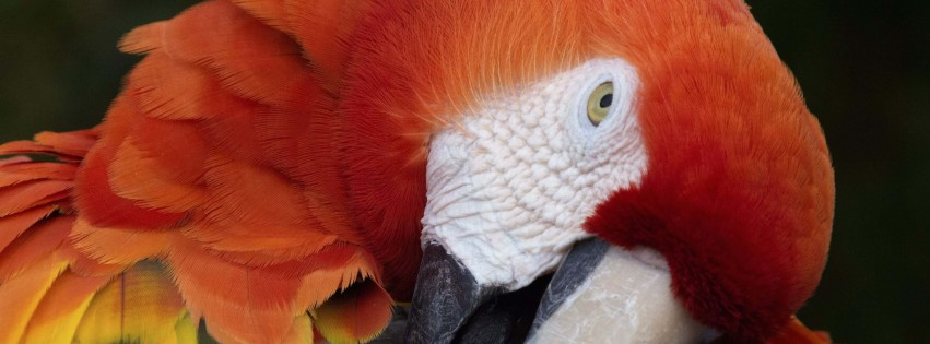 Macaw Parrot Wallpaper for Social Media Facebook Cover