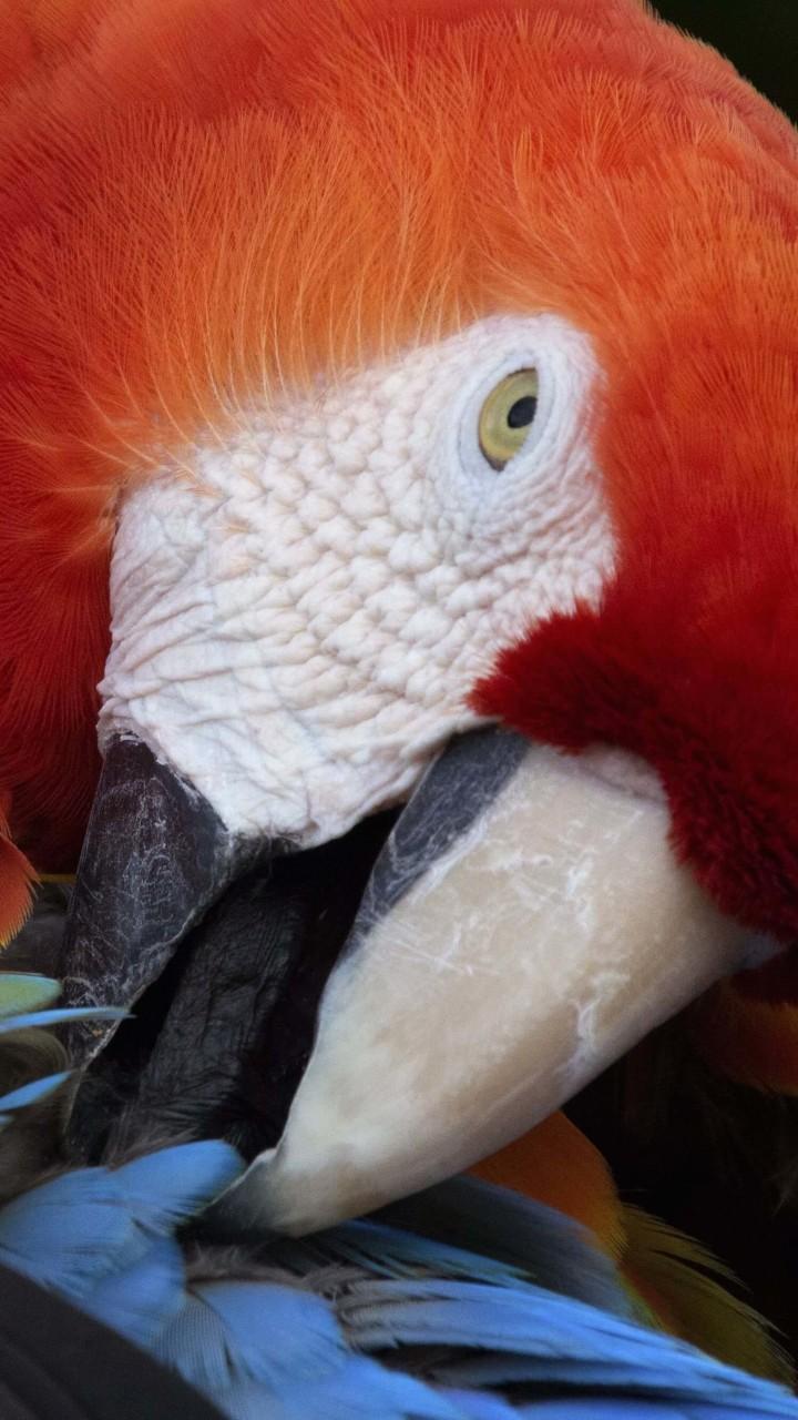 Macaw Parrot HD wallpaper for Redmi 2 screens ...