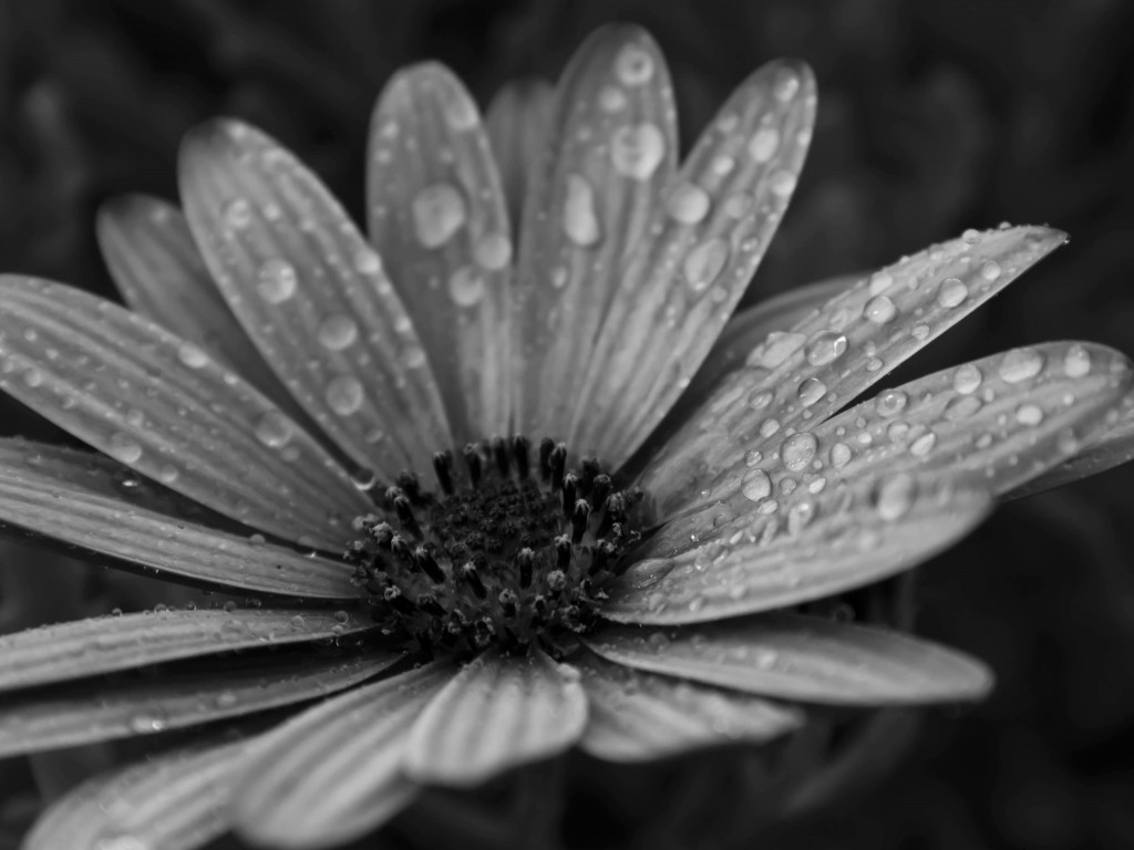 Macro Floral Black & White Wallpaper for Desktop 1024x768