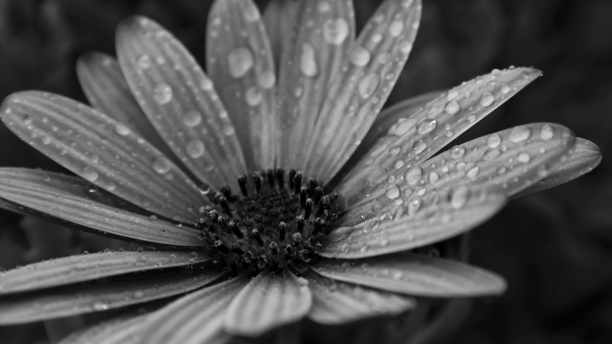 Macro Floral Black & White Wallpaper for Desktop 2560x1440