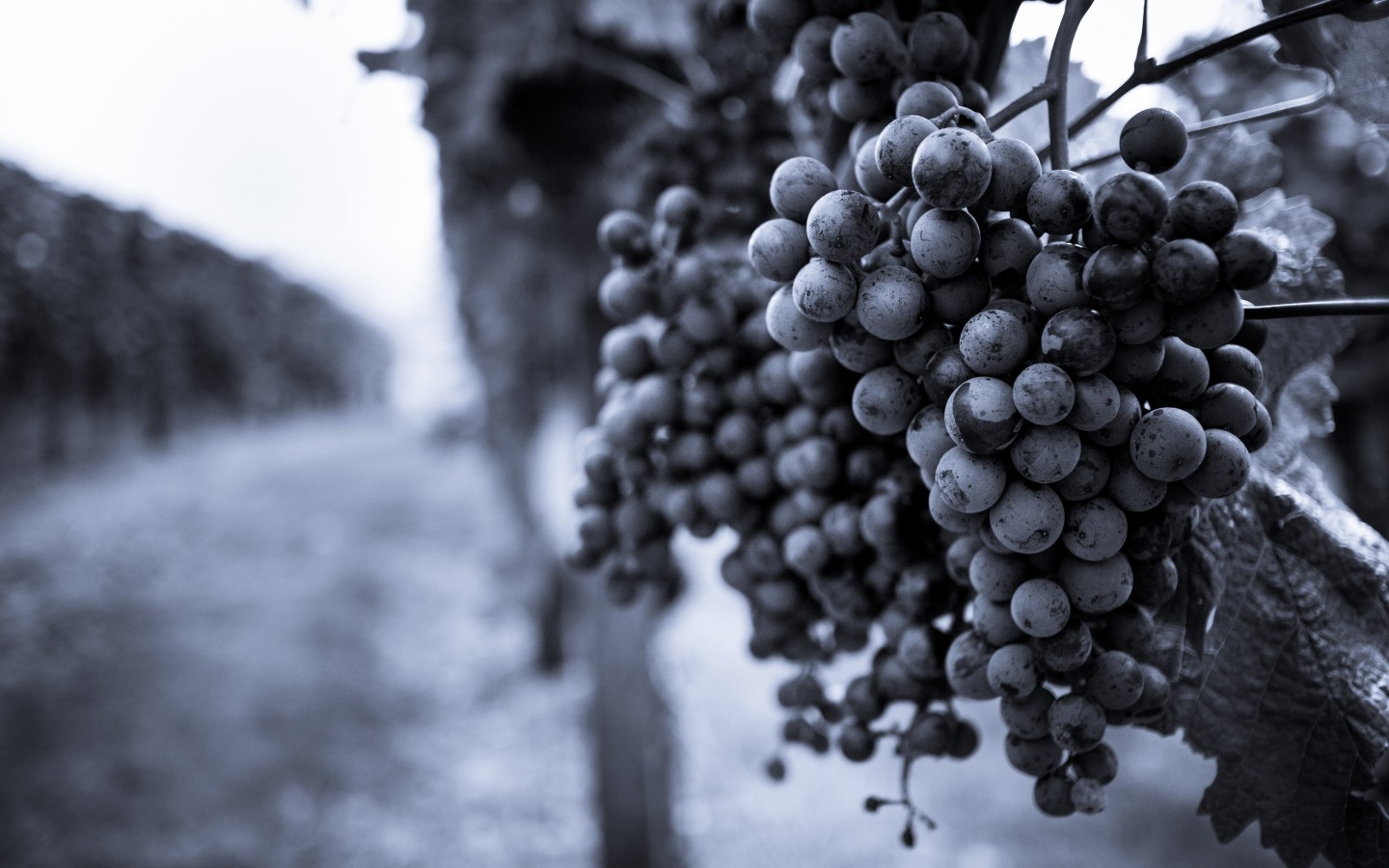 Monochrome Grape Plantation Wallpaper for Desktop 1440x900