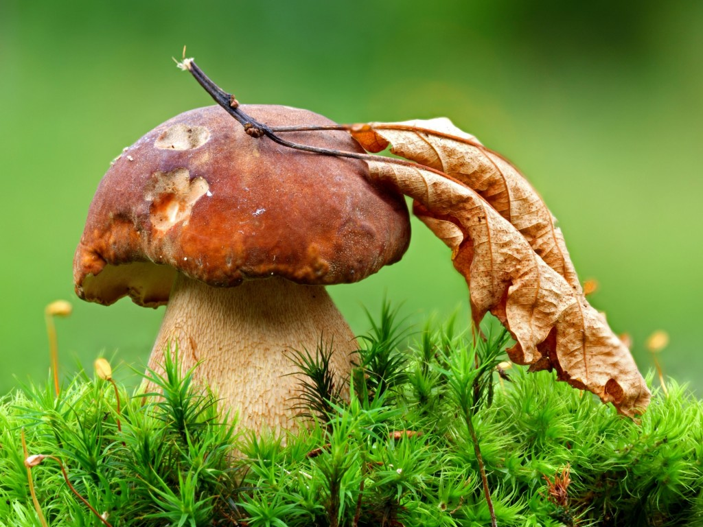 Mushroom Wallpaper for Desktop 1024x768