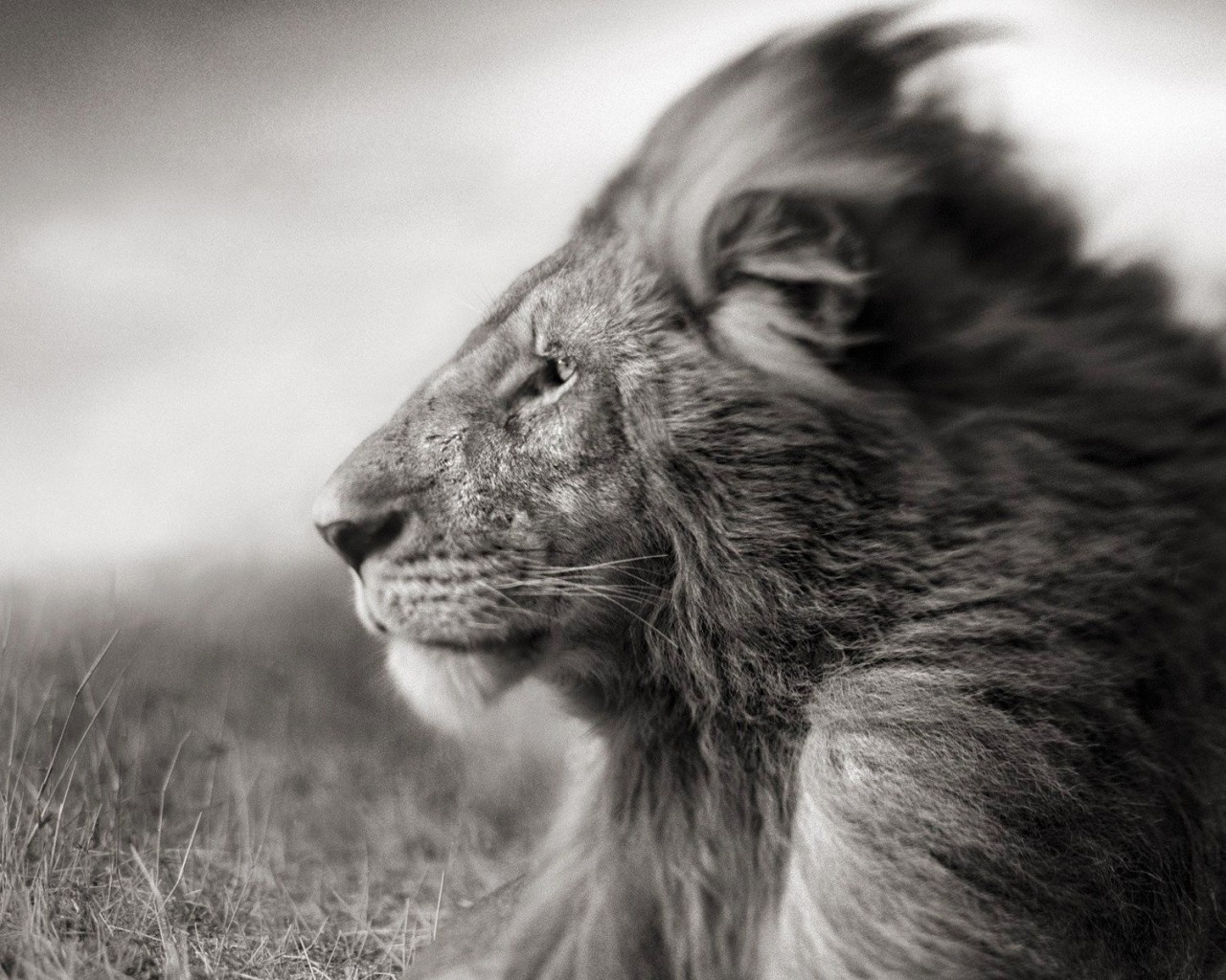 Portrait Of A Lion In Black And White Wallpaper for Desktop 1280x1024