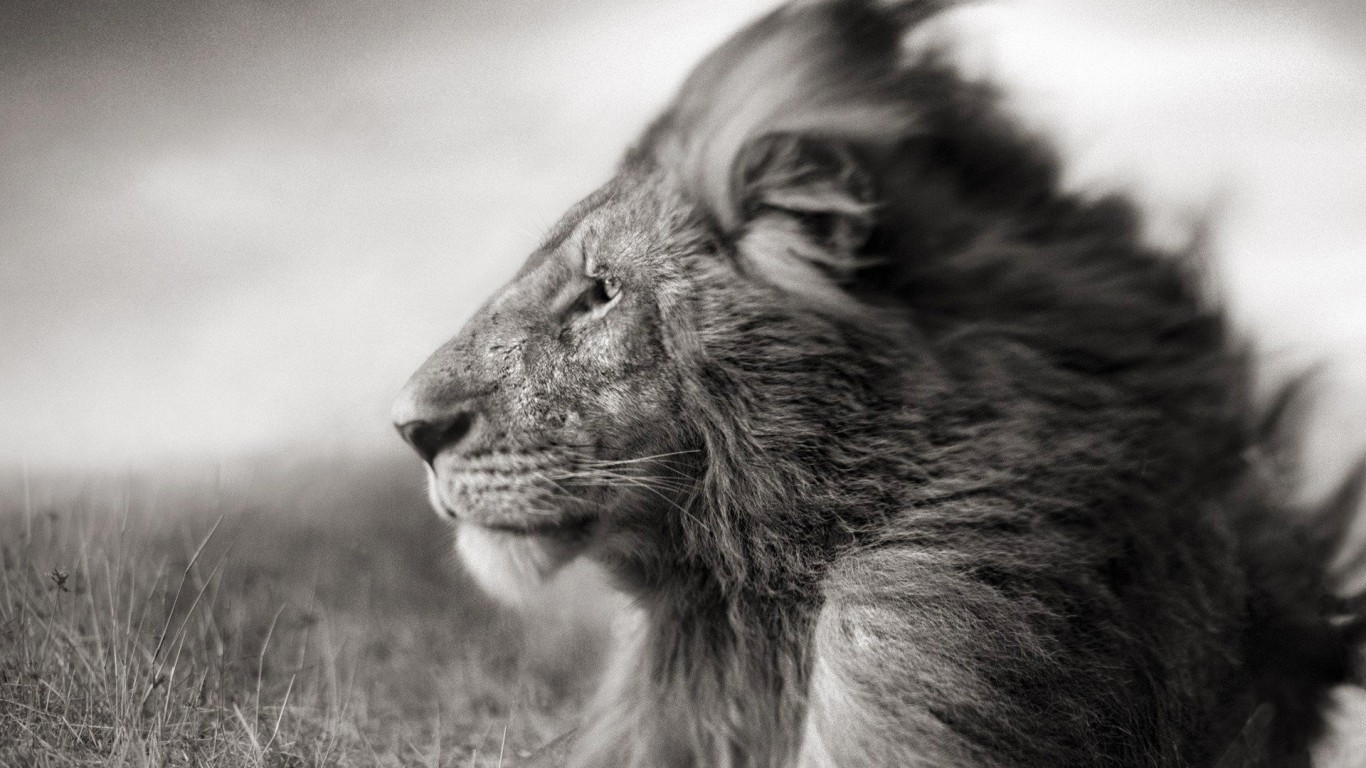 Portrait Of A Lion In Black And White Wallpaper for Desktop 1366x768