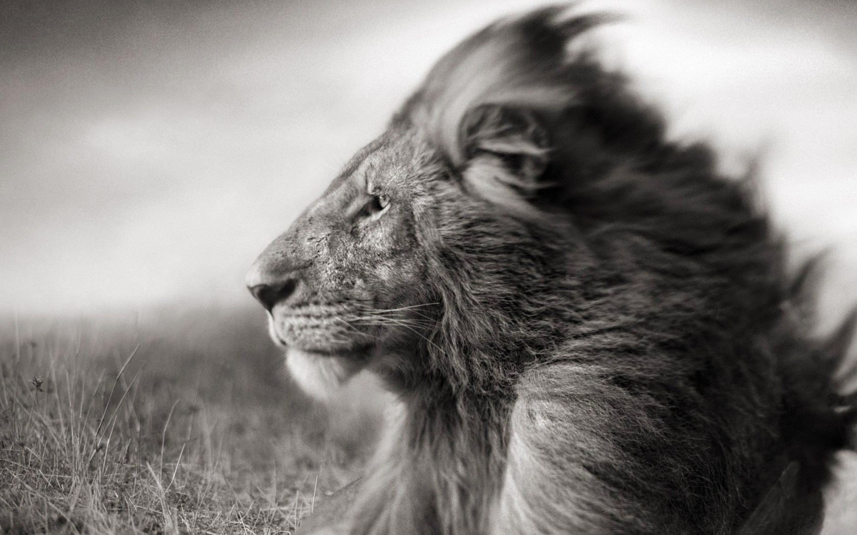 Portrait Of A Lion In Black And White Wallpaper for Desktop 1680x1050