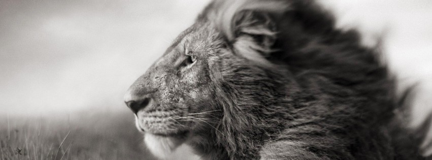 Portrait Of A Lion In Black And White Wallpaper for Social Media Facebook Cover