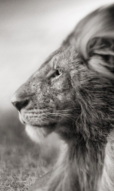 Portrait Of A Lion In Black And White Wallpaper for SAMSUNG Galaxy S3 Mini