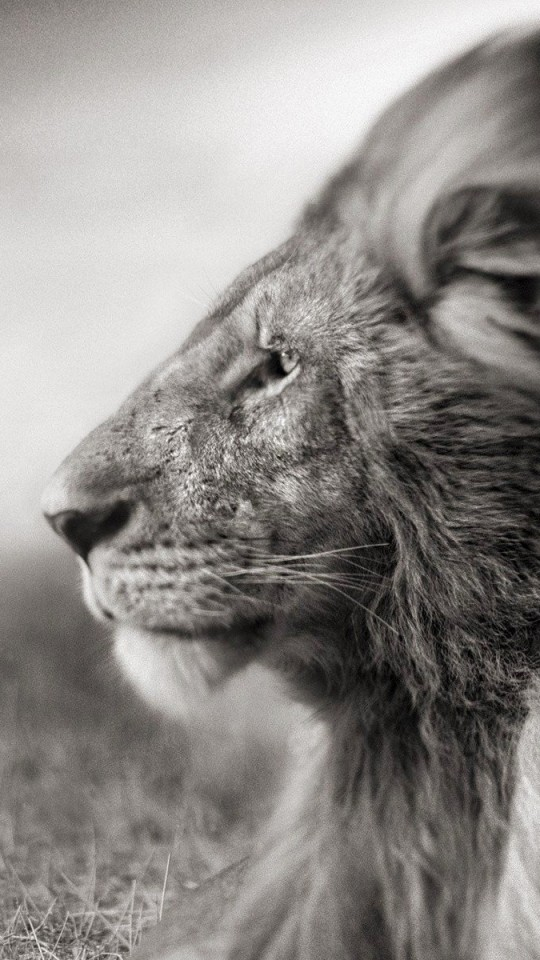 Portrait Of A Lion In Black And White Wallpaper for SAMSUNG Galaxy S4 Mini