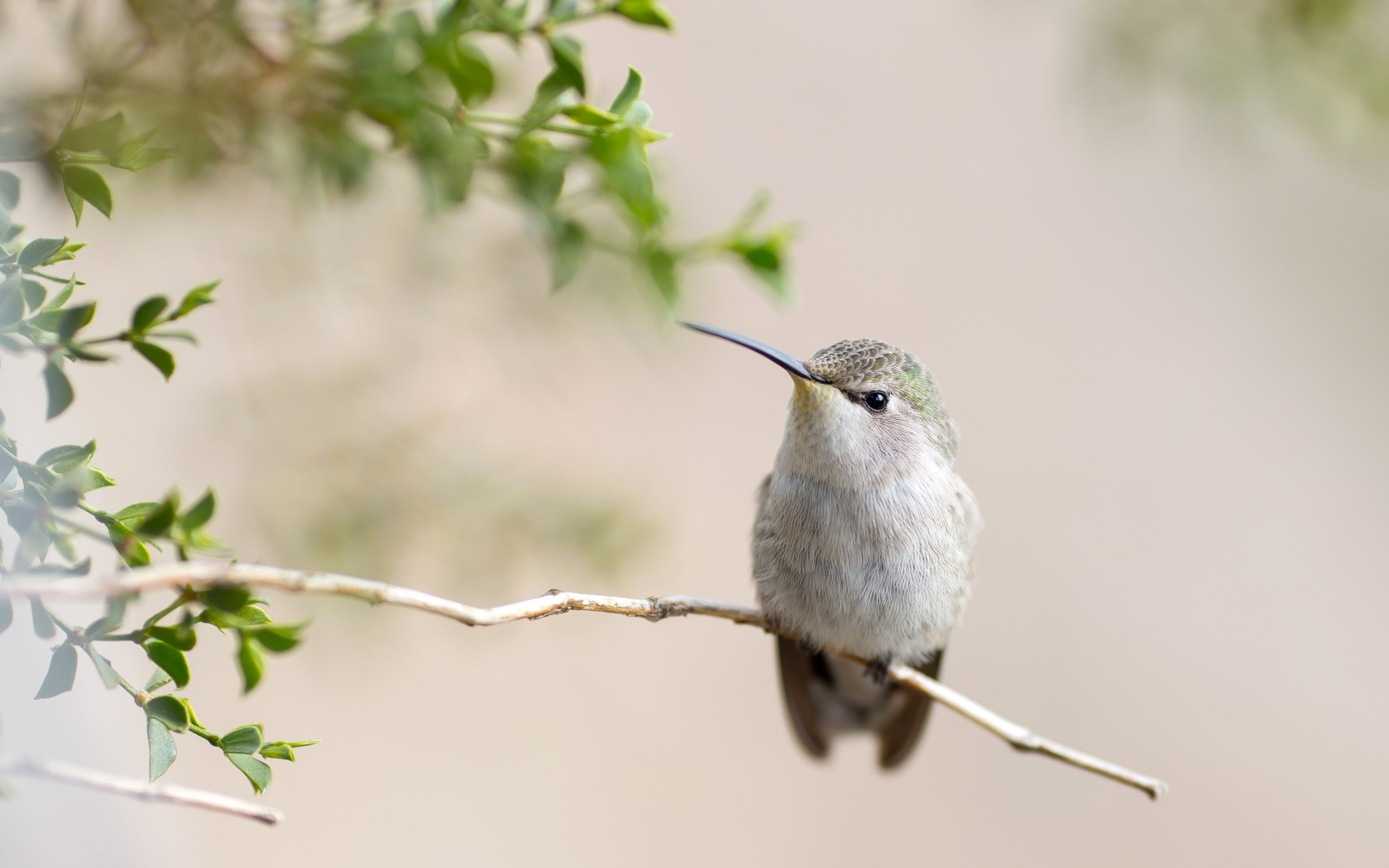 Posing Hummingbird Wallpaper for Desktop 2560x1600
