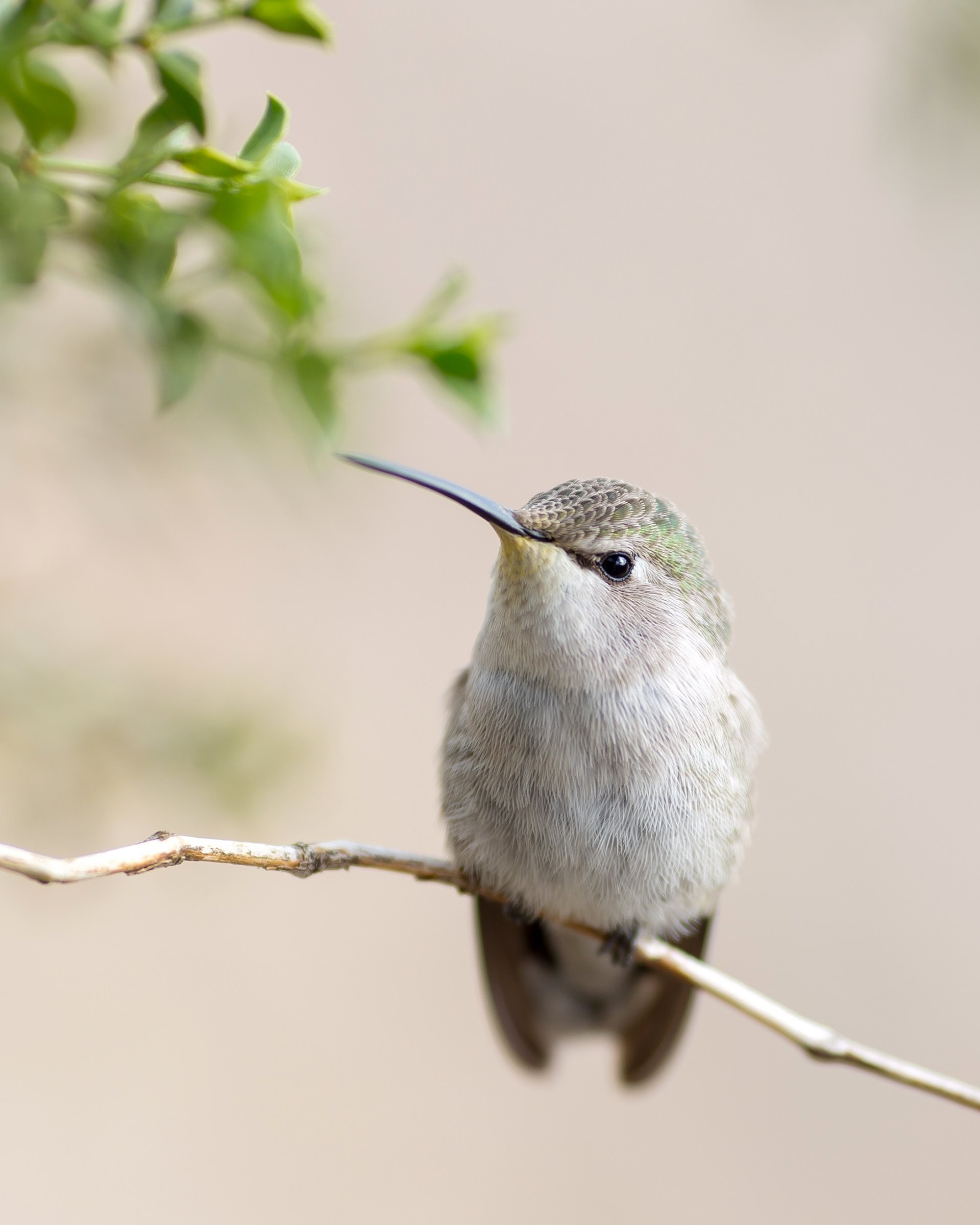 Posing Hummingbird Wallpaper for Google Nexus 7