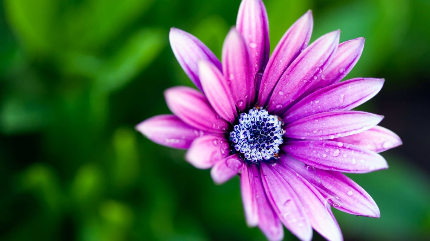 Purple Daisy Wallpaper for Desktop 1366x768