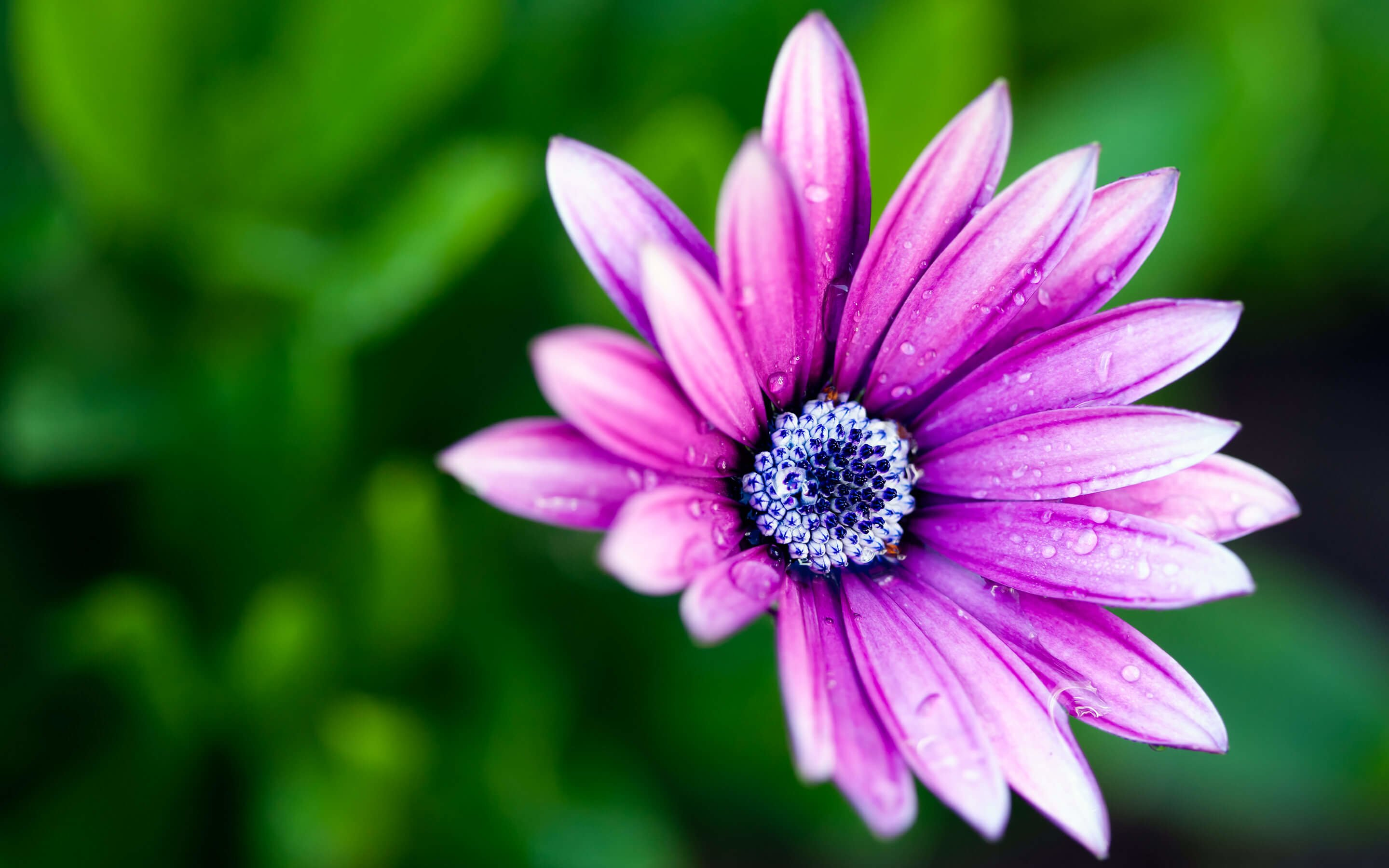 Purple Daisy Wallpaper for Desktop 2880x1800