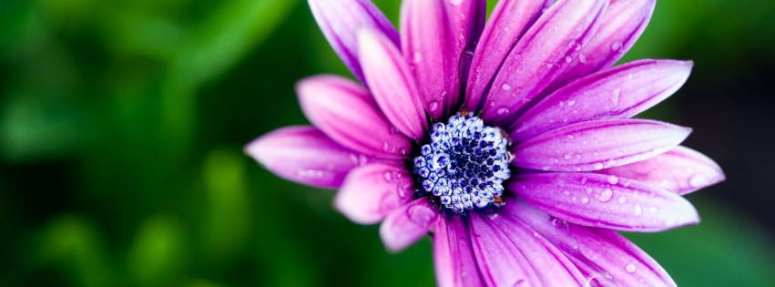 Purple Daisy Wallpaper for Social Media Facebook Cover
