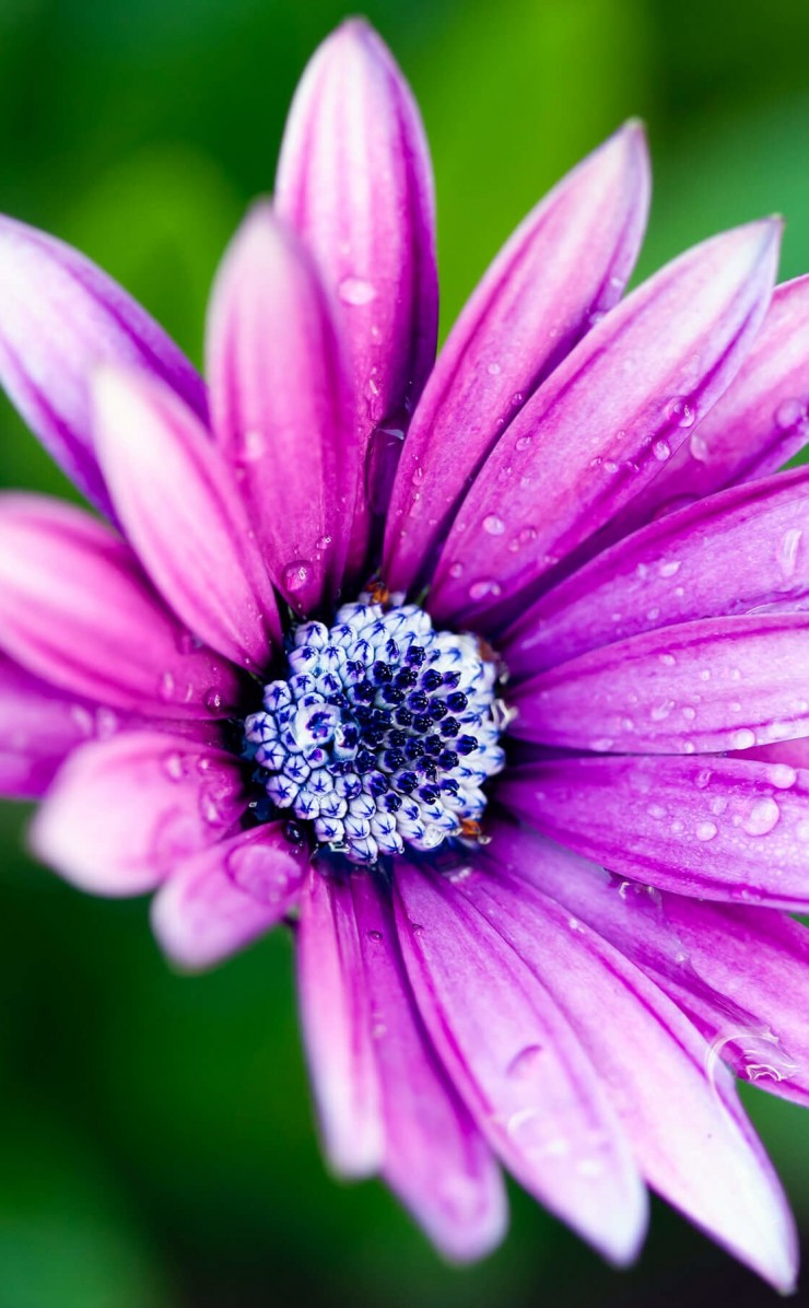 Purple Daisy Wallpaper for Apple iPhone 4 / 4s