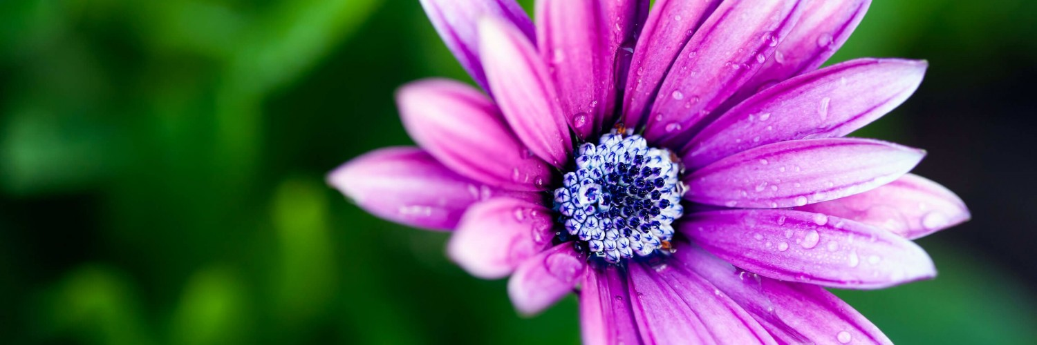 Purple Daisy Wallpaper for Social Media Twitter Header