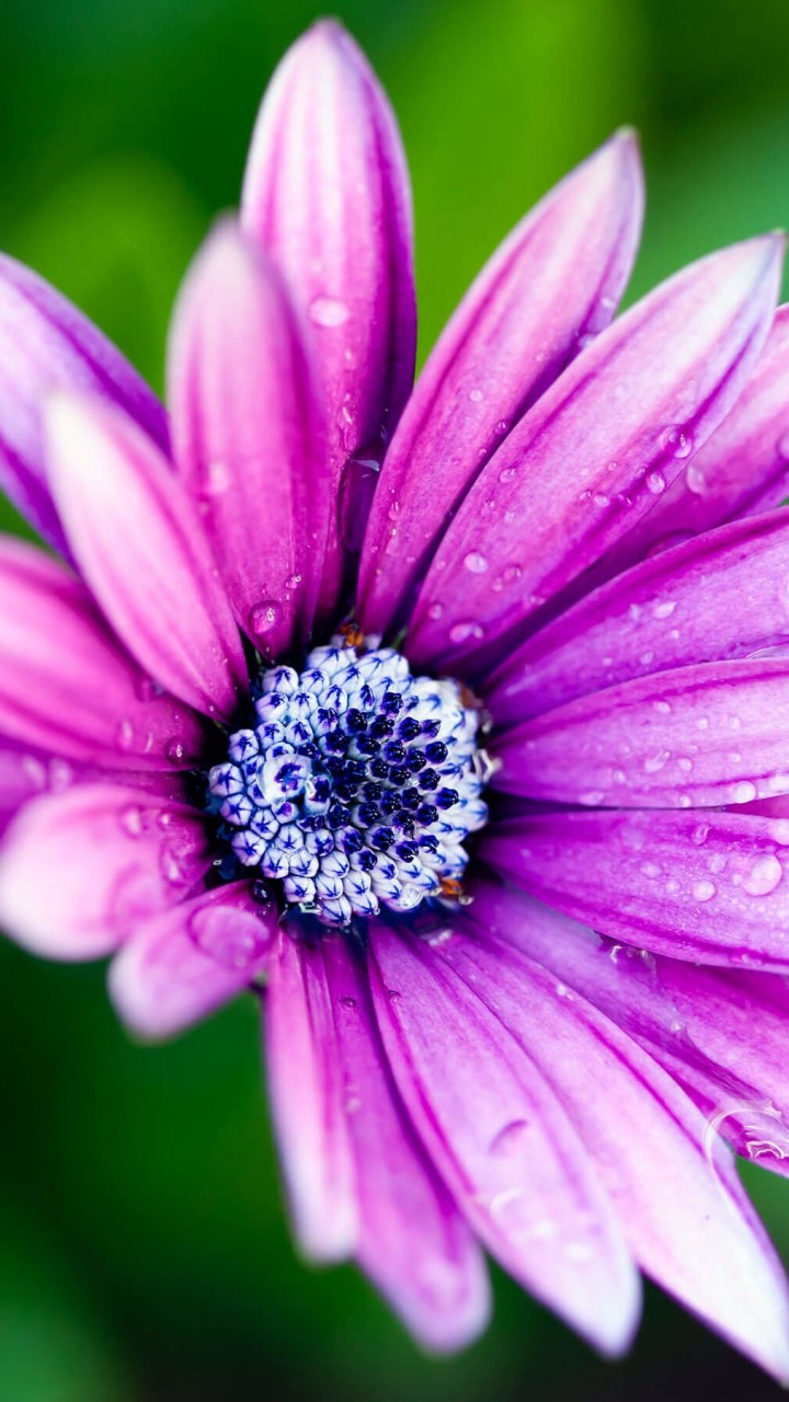 Purple Daisy Wallpaper for Xiaomi Redmi 2
