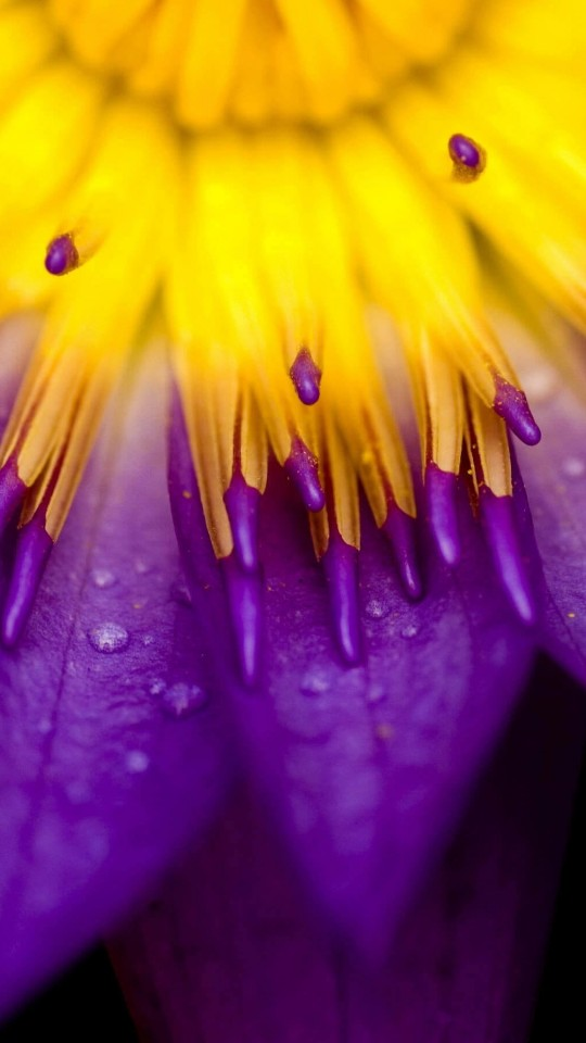 Purple Water Lily Flower Wallpaper for Motorola Moto E