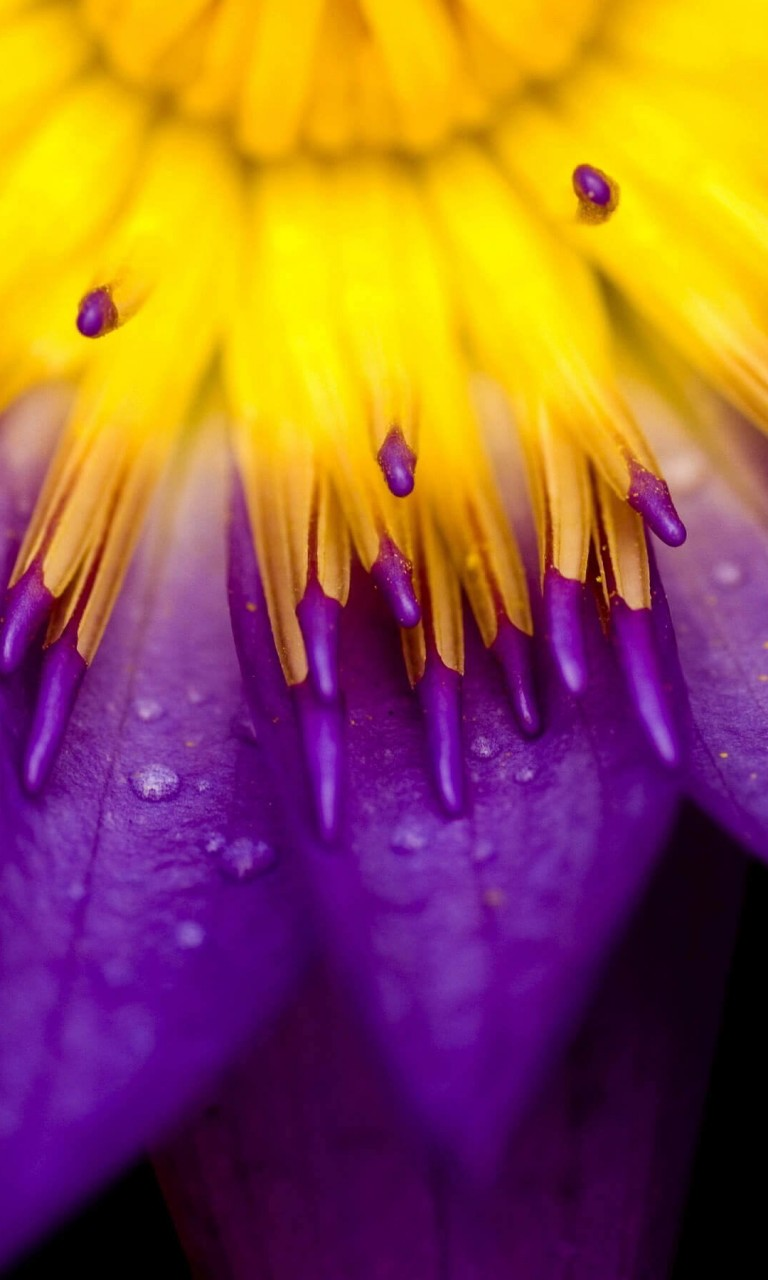 Purple Water Lily Flower Wallpaper for Google Nexus 4
