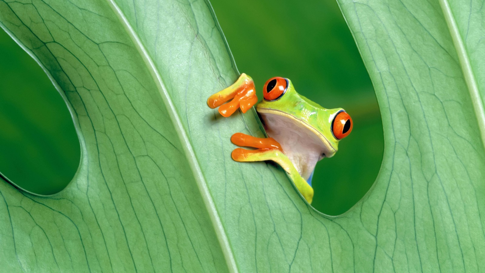 Red Eyed Tree Frog Wallpaper for Desktop 1600x900