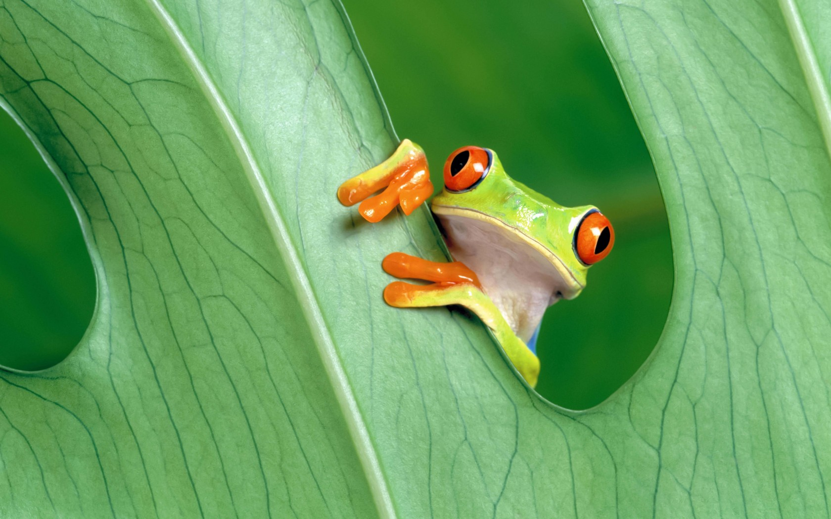 Red Eyed Tree Frog Wallpaper for Desktop 1680x1050