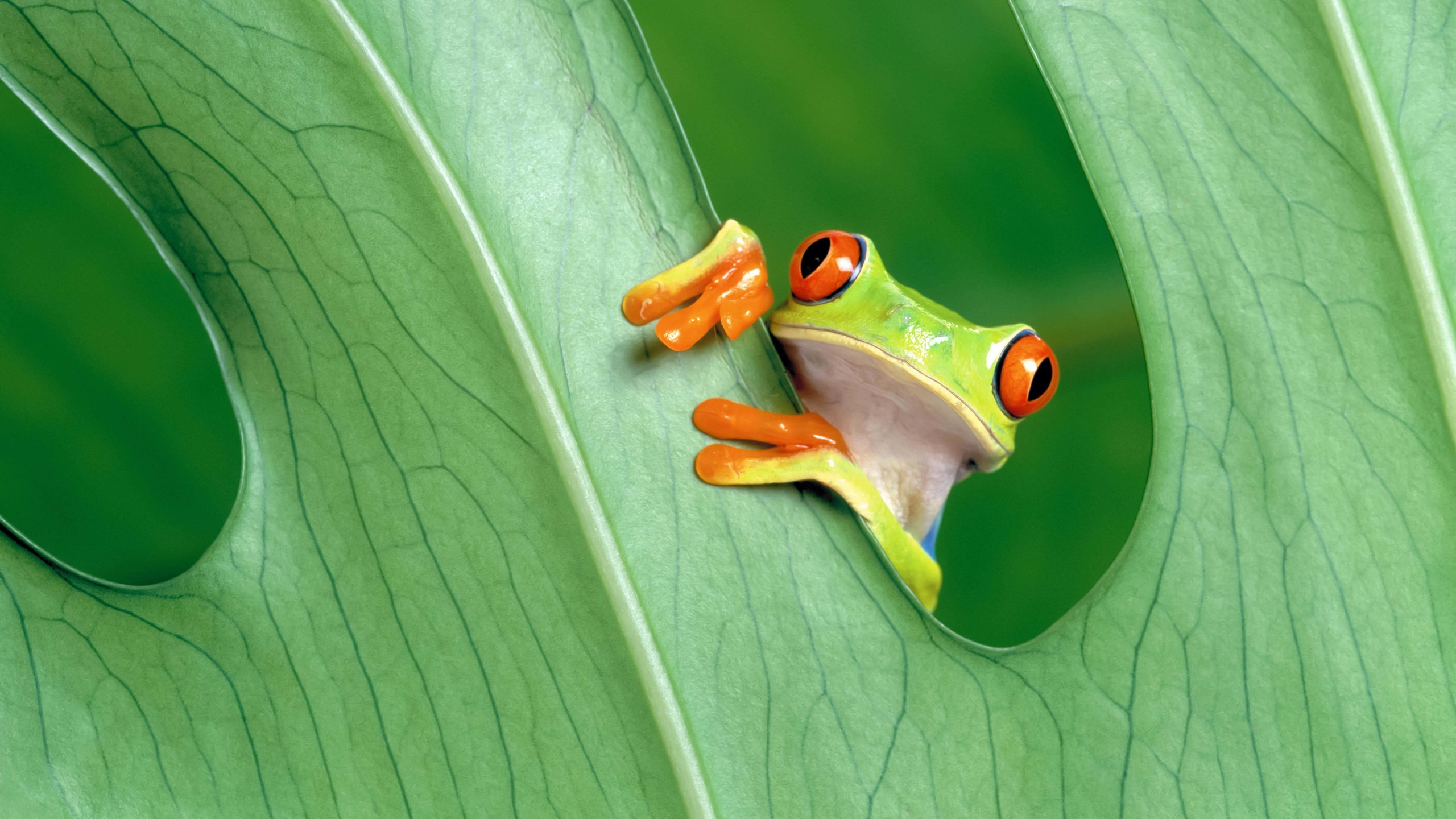 Red Eyed Tree Frog Wallpaper for Desktop 2560x1440