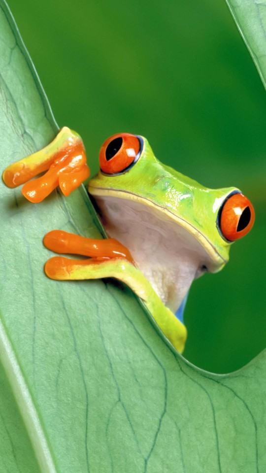Red Eyed Tree Frog Wallpaper for SAMSUNG Galaxy S4 Mini