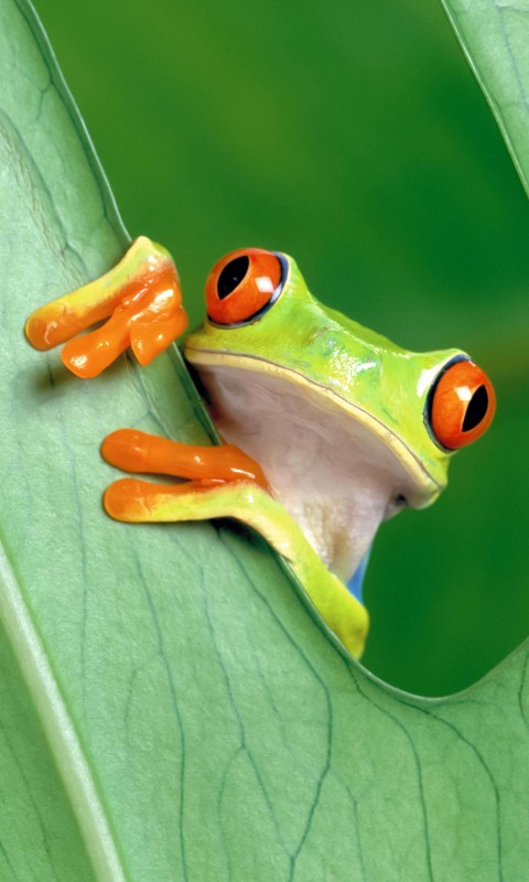 Red Eyed Tree Frog Wallpaper for HTC Desire HD