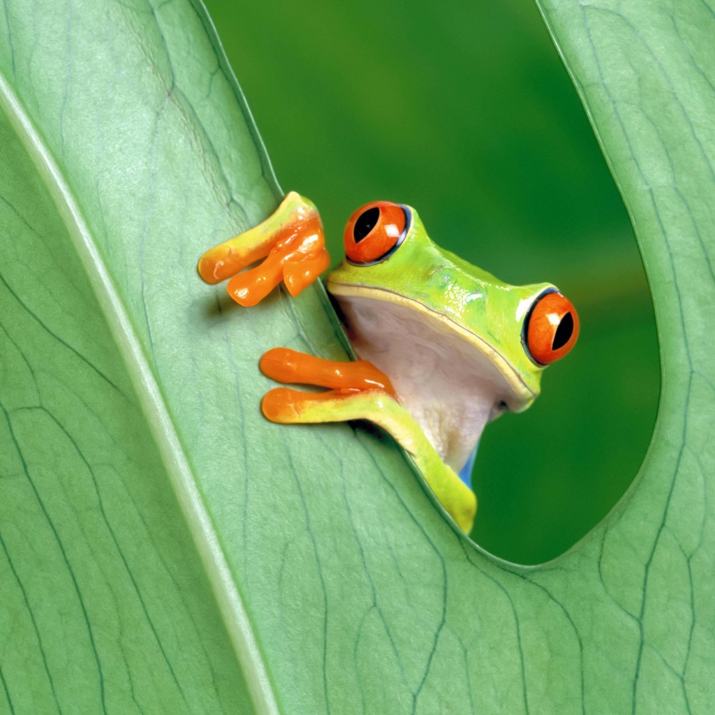 Red Eyed Tree Frog Wallpaper for Apple iPad