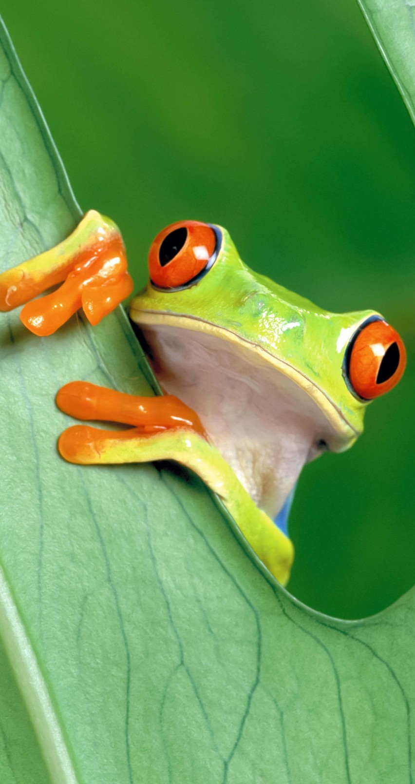 Red Eyed Tree Frog Wallpaper for Apple iPhone 6 / 6s