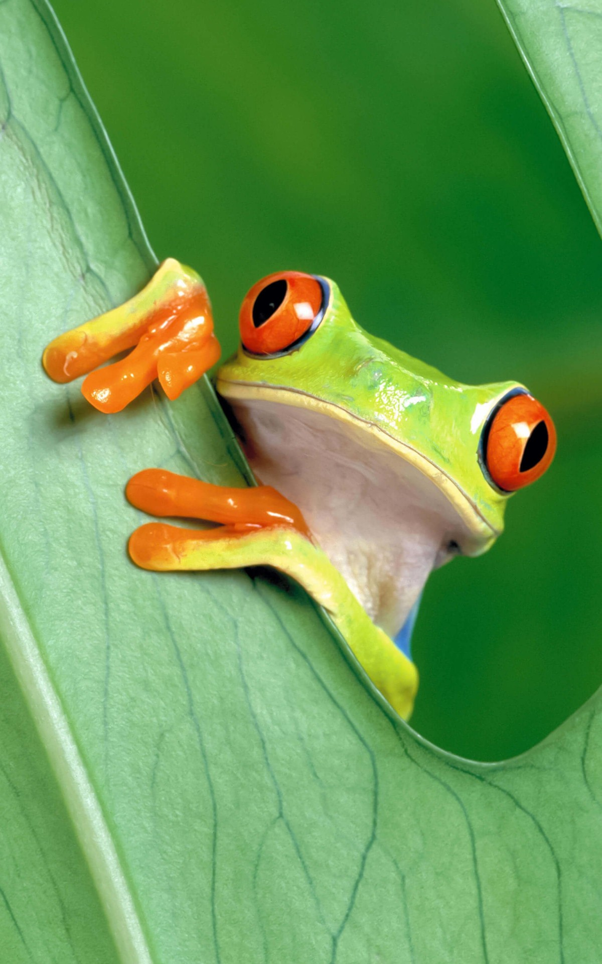 Red Eyed Tree Frog Wallpaper for Amazon Kindle Fire HDX