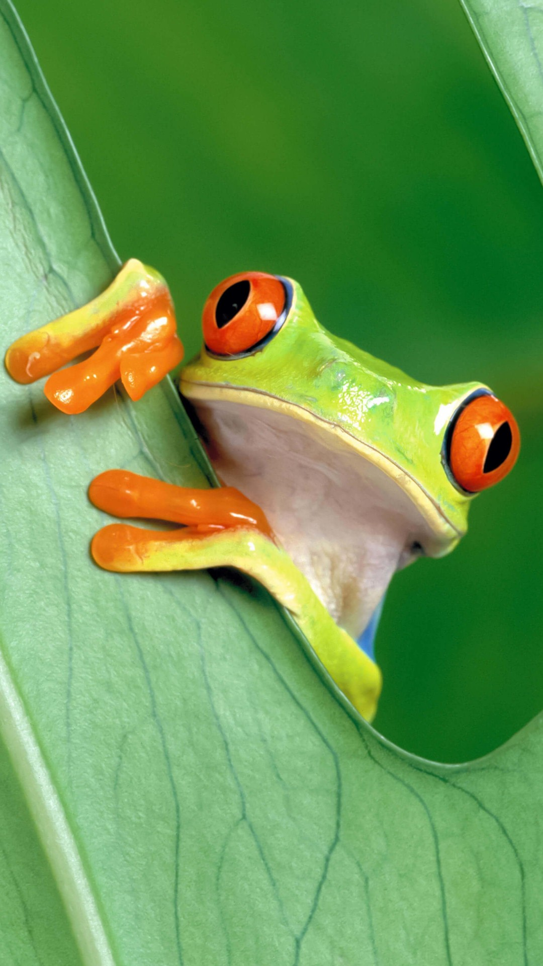 Red Eyed Tree Frog Wallpaper for SONY Xperia Z1