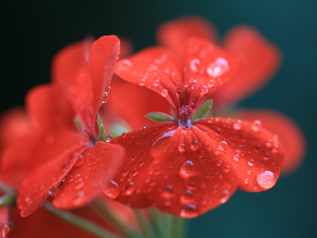 Red Geranium Wallpaper for Desktop 1024x768