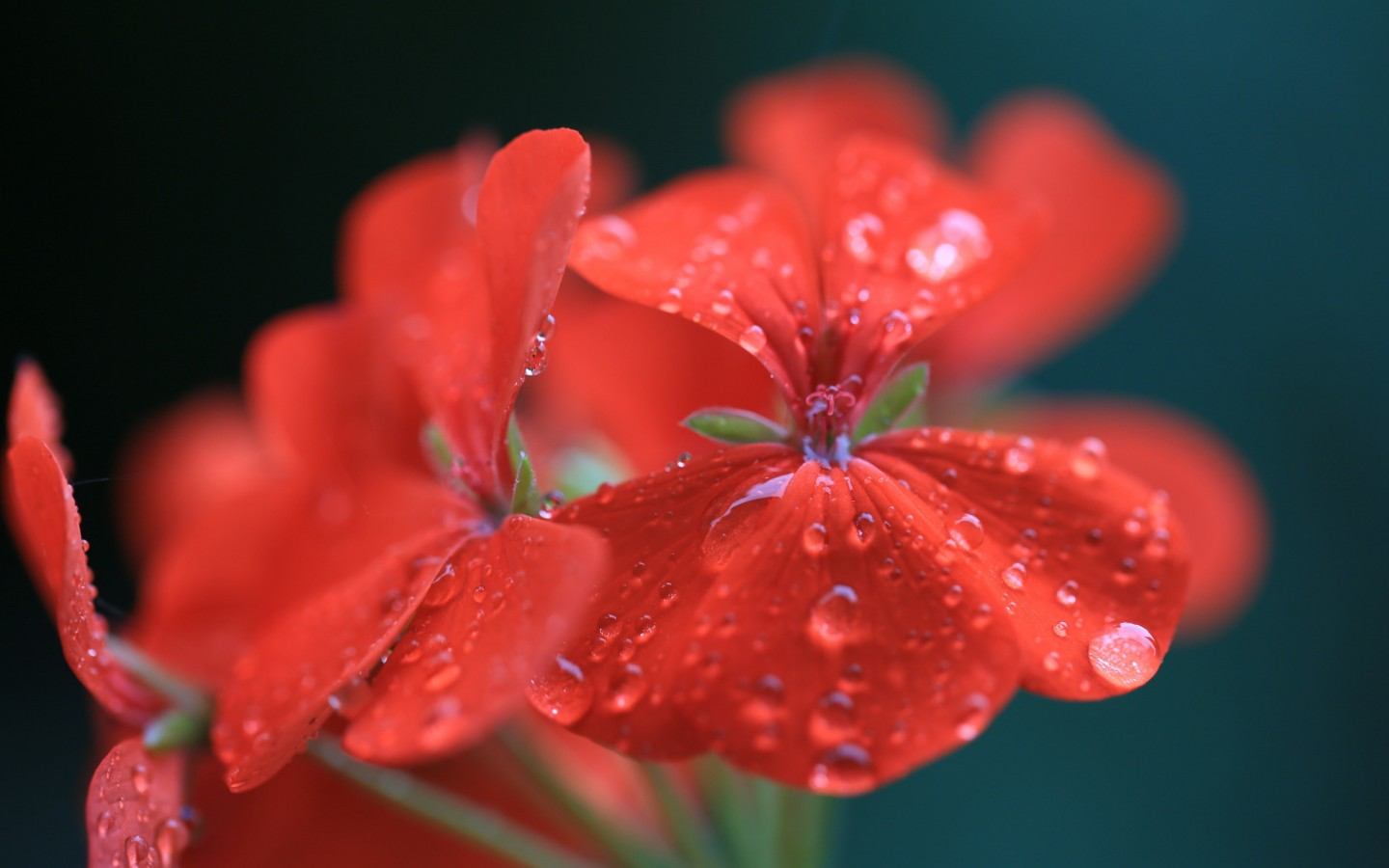 Red Geranium Wallpaper for Desktop 1440x900