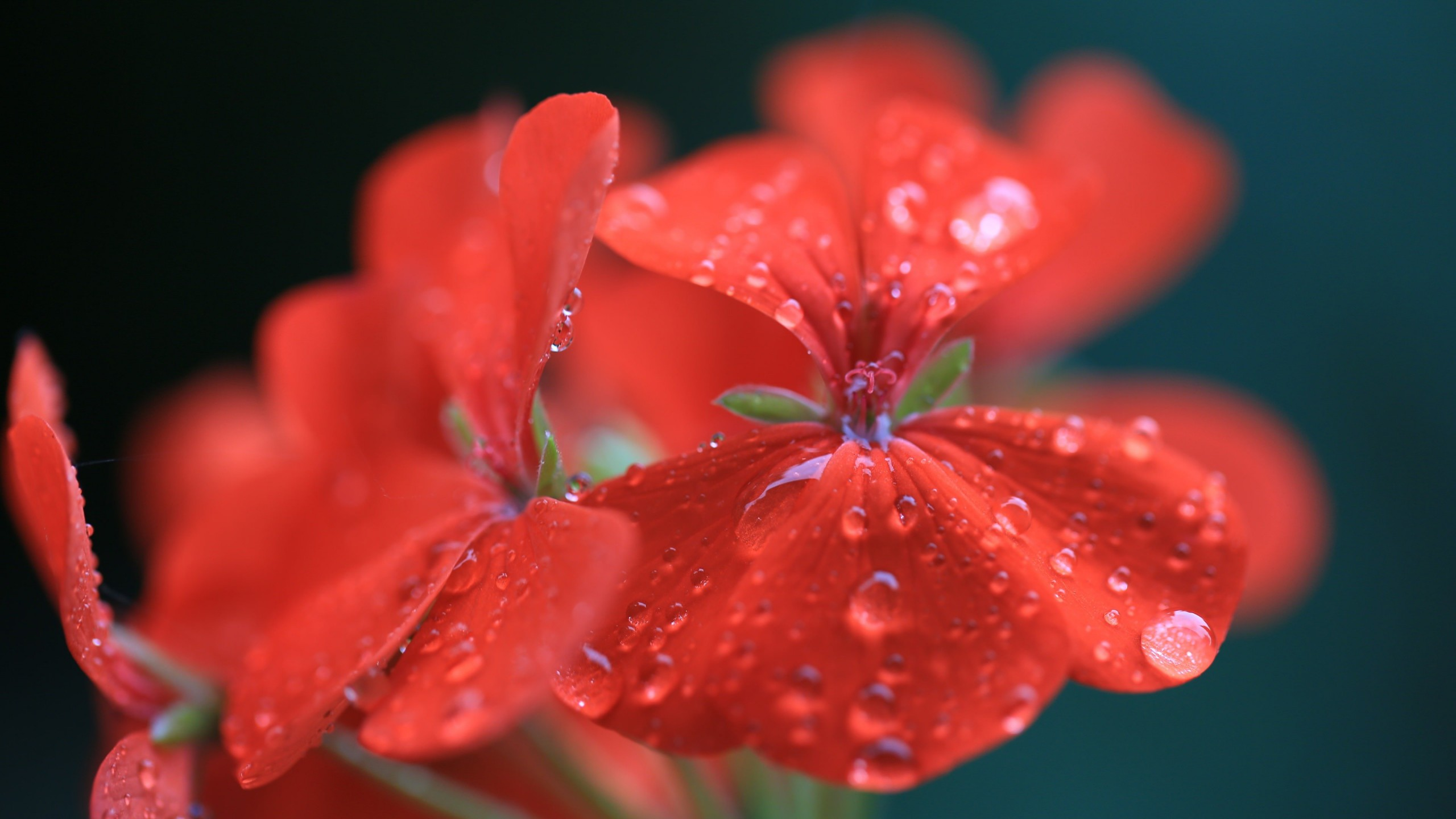Red Geranium Wallpaper for Desktop 2560x1440