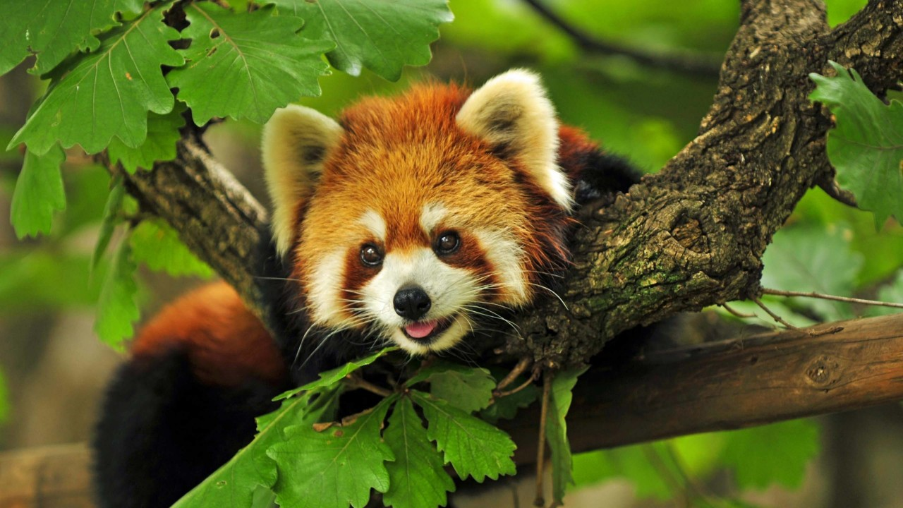 Red Panda Wallpaper for Desktop 1280x720