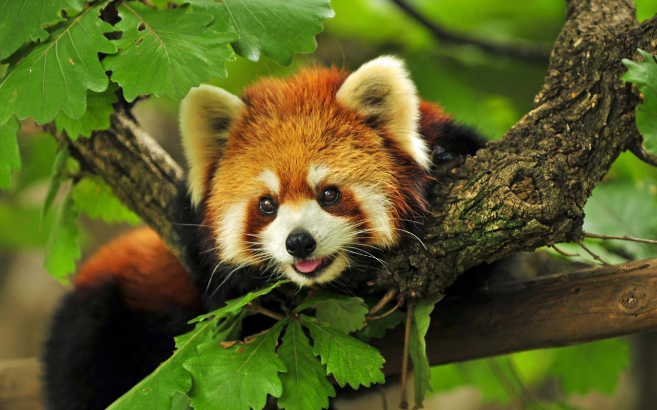 Red Panda Wallpaper for Desktop 1280x800