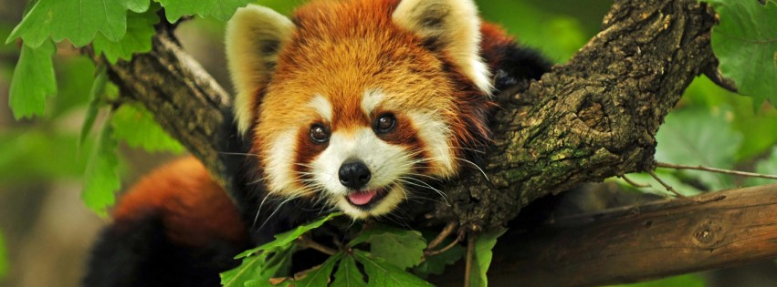 Red Panda Wallpaper for Social Media Facebook Cover