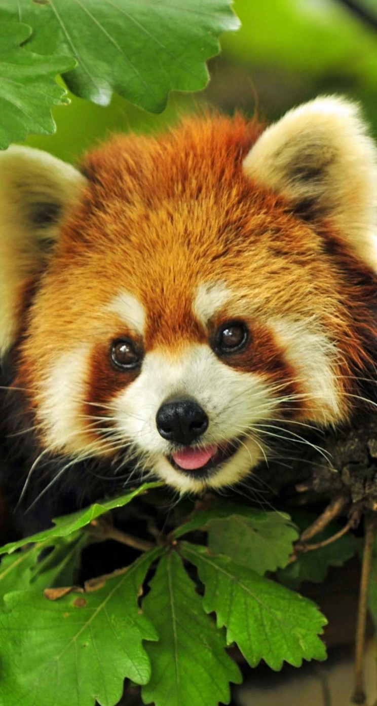 Red Panda Wallpaper for Apple iPhone 5 / 5s