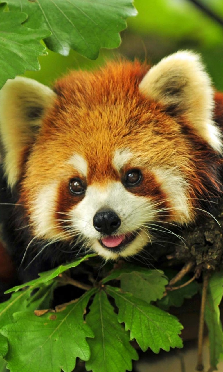 Red Panda Wallpaper for LG Optimus G