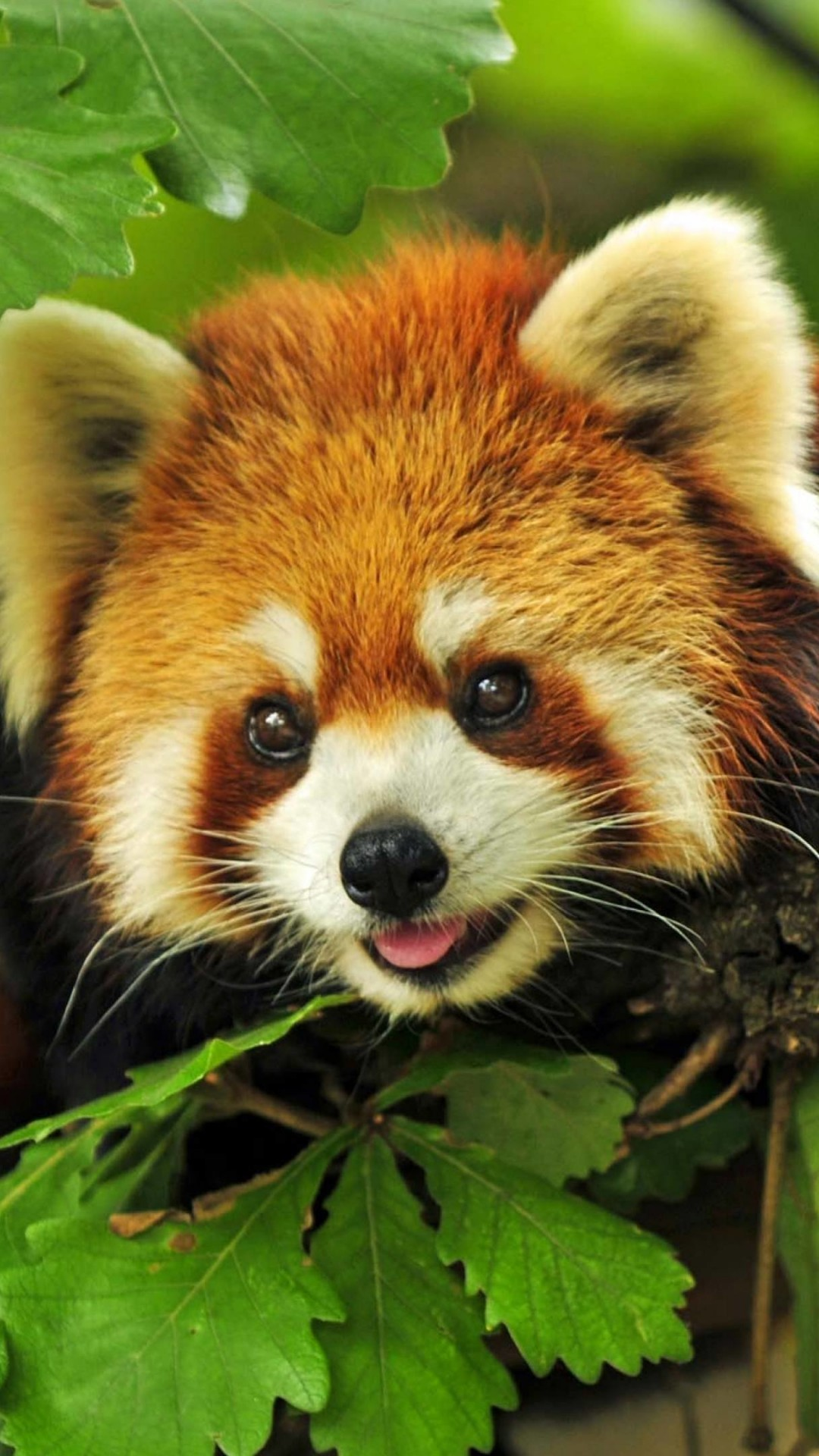 Red Panda Wallpaper for SONY Xperia Z1