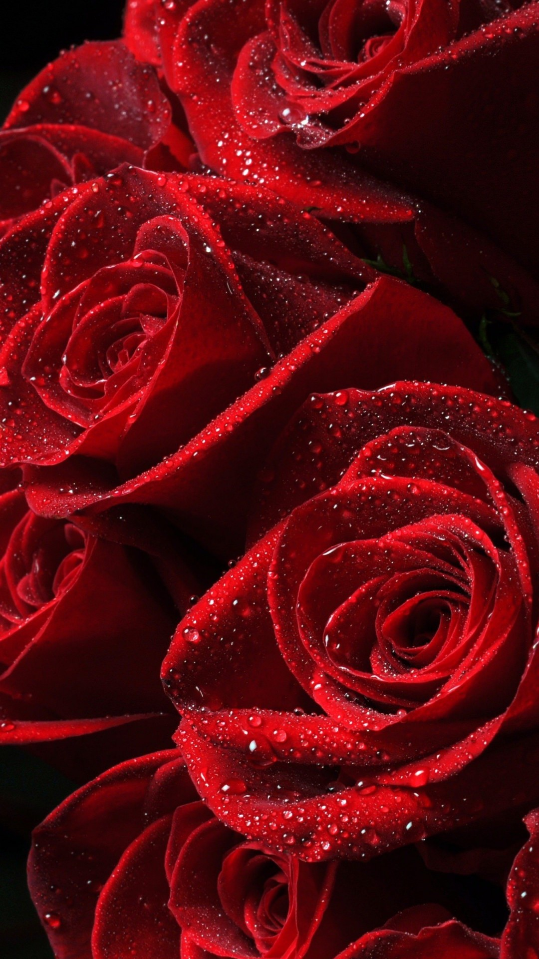 Red Roses Wallpaper for Google Nexus 5X