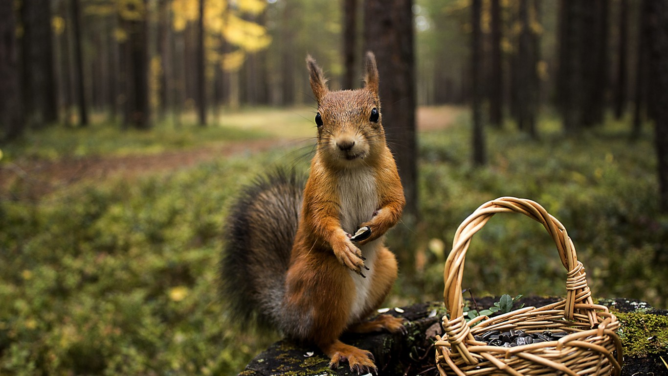 Red Squirrel Wallpaper for Desktop 1366x768