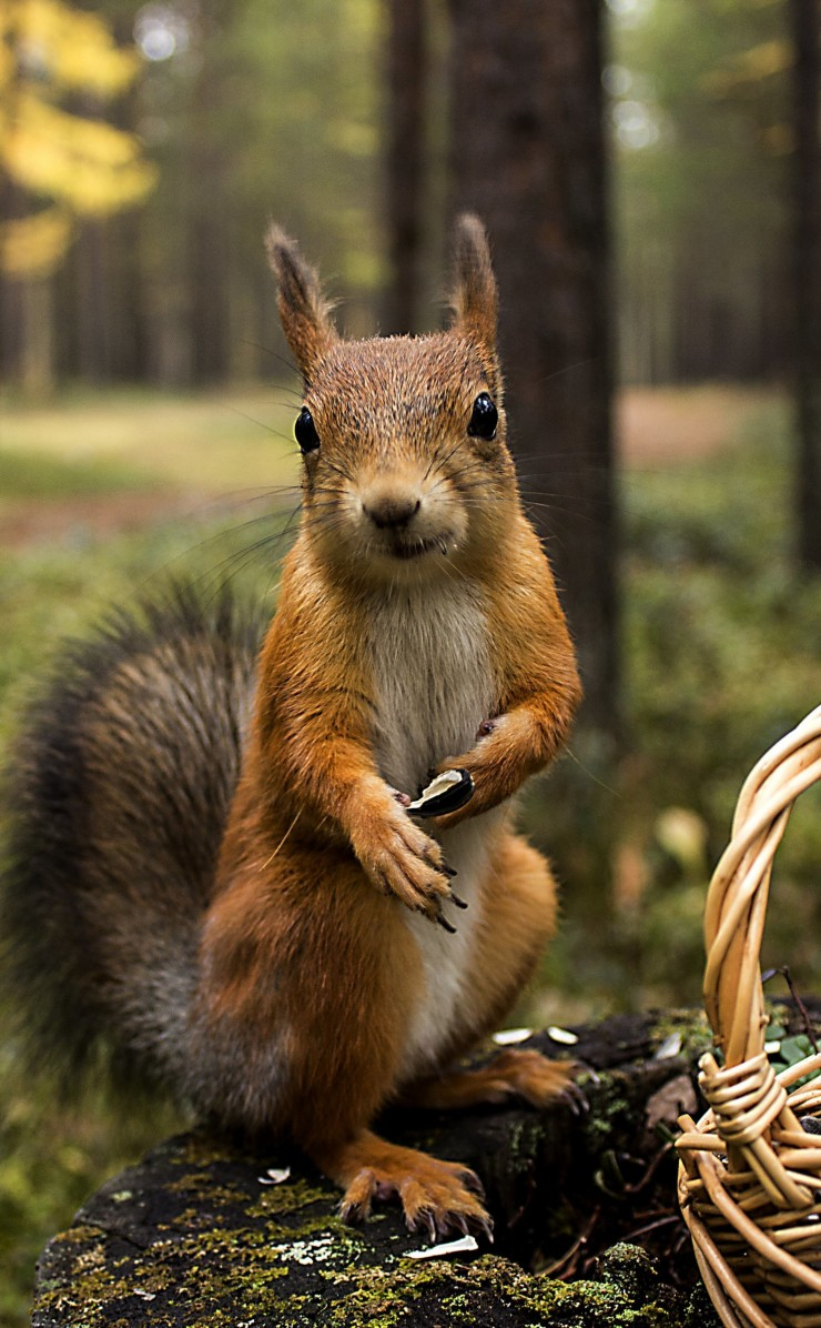 Red Squirrel Wallpaper for Apple iPhone 4 / 4s