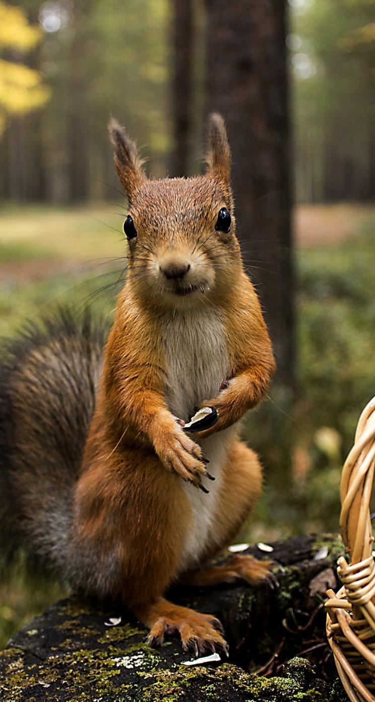 Red Squirrel Wallpaper for Apple iPhone 5 / 5s